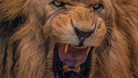 Close-up portrait of a Lion's roar