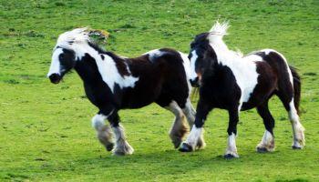 Miniature Horses On Grassy Field