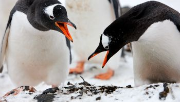 Pair of gentoo penguins bowing in courtship