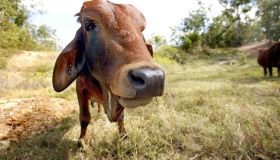 Sahiwal a cattle breed from the Punjab region of India on a farm at Wamuran, Que